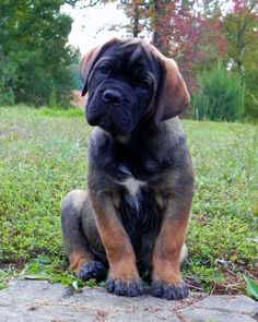 Cane Corso pup. Big guy!| cute puppies and dog training tips by KaufmannsPuppyTraining.com