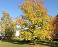 Siberian Elm and Weeping Birch in the yard turning a beautiful yellow