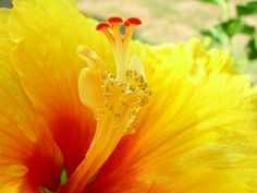 Yellow Hibiscus by Chennette, via Flickr
