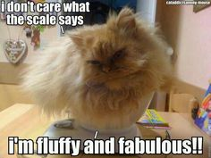 fluffy and fabulous #scale #weight #cat #humor