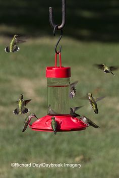 Hummingbird Migration has started... Keep your feeders up and full until two weeks after you see your last hummingbird this fall to help them on their way. (Don't believe the old myth - keeping feeders up does NOT stop birds from migrating!) Photo via Daybreak Imagery