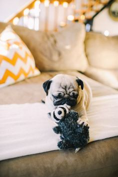 baby pug with toy raccoon