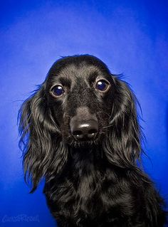 Black Beauty Dachshund