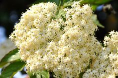 Plant of the Month Elderflower- Sambucus — Healing Falcons Flu Remedies, Herbal Remedies, Home Remedies, Medicine For Flu, Elderberry Tea, Elderflower, Cheese Cloth, Natural Healing, Healthy Tips