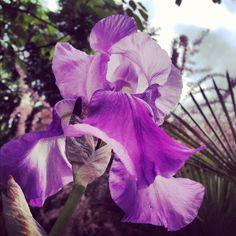Iris lilla