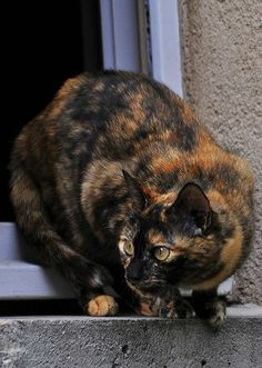 This looks like my Pumpkin kitties, I love tortie kitties....and I miss both of my Pumpkins.