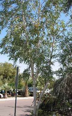Eucalyptus papuana at the Glendale Xeriscape Garden