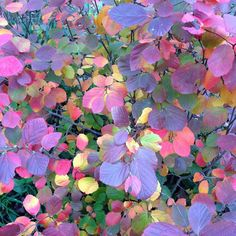 Legend Of The Fall Fothergilla - get liners from Spring Meadow Nursery. Colorful Flowers, White Flowers, Gardening Websites, Foundation Planting, Sandy Soil, Root System, Beach Gardens, Woodland Garden, Types Of Soil