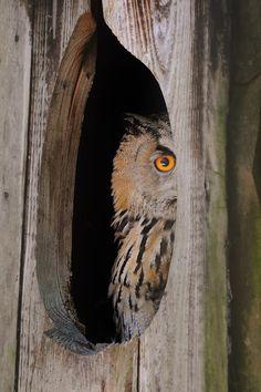 Peek a boo / twit a woo / I see you too