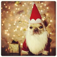 Santa's Little Helper French Bulldog Merry Happy Christmas Day Card Puppy Holiday Dogs Santa Claus Dog Puppies Xmas #MerryChristmas Frenchie