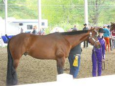 American Quarter Horse.