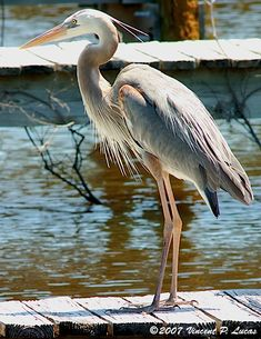 Heron. I see these everyday, really cool.