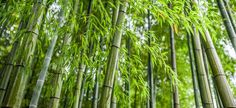 Eat Your Yard! 21 Weeds and Flowers For Your Dinner Table Fargesia, Bamboo Plants, Tree Photography, Garden Trees, Gras, Edible Flowers, Flower Beds, Dinner Table, Weed