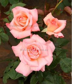 Let's Celebrate :- Multi award winning Hybrid Tea, named for the South Australian Rose Society's Centenary in 2008.