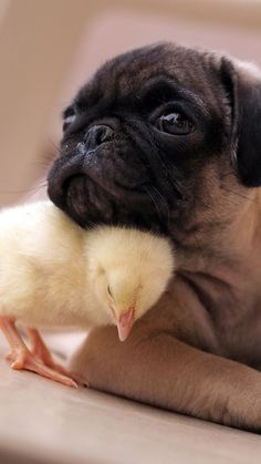 More Than 44 Friendship Without Any Boundaries Awww Chick And Pug Best Buddies amistad sin límites awww chick and pug best buddies freundschaft ohne grenzen awww chick and pug best buddies amicizia senza limiti a. chick and pug best buddies Cute Funny Animals, Cute Baby Animals, Cute Baby Pugs, Cute Pug Puppies, Pet Dogs, Pets, Doggies, Tier Fotos, Jolie Photo