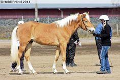 2-year-old Finnhorse stallion Latex