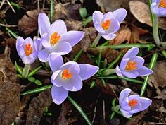 Crocus, Spring, Lenz, Flowers