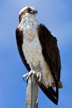 Osprey - Cayo Costa State Park, Florida Yep we have them around were we live they love hanging out on the top of Kens mask on top of his sail-boat