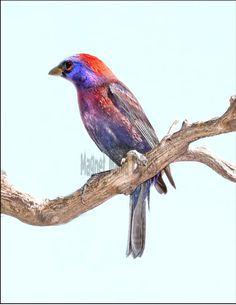 Metal Refrigerator Magnet Varied Bunting Bird Purple Red Gray Travel Arizona