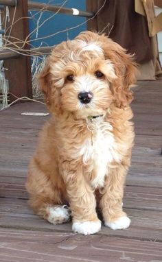 Excellent new photos of the Goldendoodle haircut guide - Hunderasse - Perros Graciosos Animals And Pets, Baby Animals, Cute Animals, Cute Puppies, Dogs And Puppies, Doggies, Baby Dogs, Poodle Mix Puppies, Puppies Tips