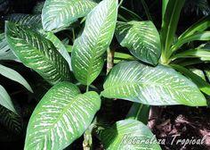 Planta ornamental conocida popularmente como Diefembaquia o Galatea, Dieffenbachia seguine