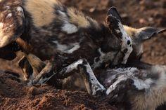 Sibling fun for wild dogs ©Luke Street