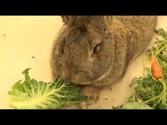 i need a flemish giant bunny. i've located a breeder in maryland. = ]