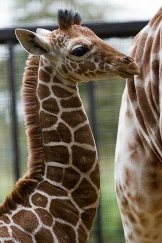 Baby male giraffe bySophie L. Miller