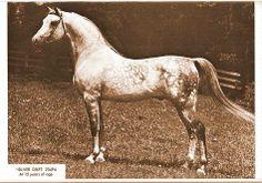 *Silver Drift......awesome stallion