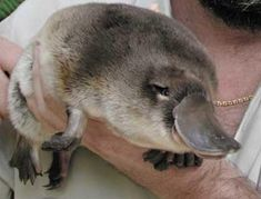 15 Pictures Of Baby Platypuses That'll Make Your HeartMelt