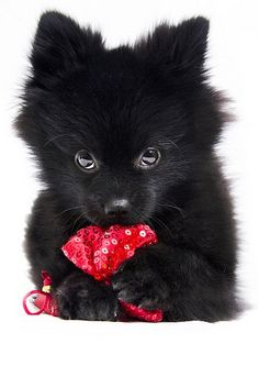 Black Pomeranian puppy with his newest toy - an article of clothing!