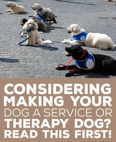 Making Your Dog a Service or Therapy Dog? Read This First! Considering making your dog a service or therapy dog? Read this first!Considering making your dog a service or therapy dog? Read this first! Therapy Dog Training, Service Dog Training, Therapy Dogs, Training Your Dog, Training Tips, Training Classes, Agility Training, Training Videos, Training Equipment