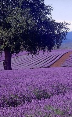 Eindeloos dromen tussen lavendel.......