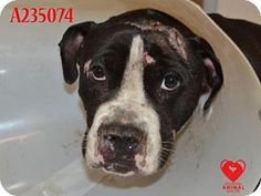 04/18/16 SL~~~SUPER URGENT! AT HIGH KILL SHELTER! Pictures of BACON a Pit Bull Terrier Mix for adoption in STOCKTON, CA who needs a loving home. 02/29/16 In foster care