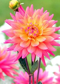 Yellow centered, pink Dahlia flowers.
