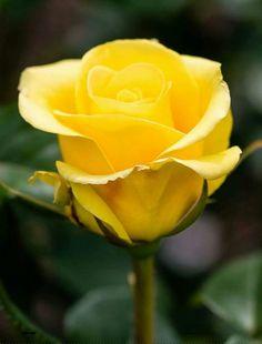 Rose <3