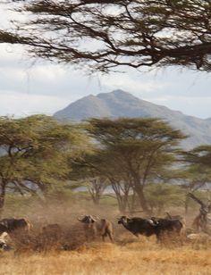 Joy's Camp in Shaba National Reserve, Kenya - cape buffalo