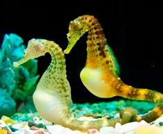 Segure as emoções: Assista o parto de um cavalo marinho!   Diário de Biologia Marine Aquarium, Sea Dragon, Marine Biology, Seahorses, Betta Fish, Science And Nature, Under The Sea, Coral, Nice