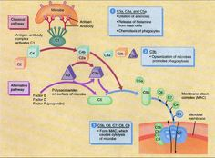 The Complement System ~ http://users.rcn.com/jkimball.ma.ultranet/BiologyPages/C/Complement.html