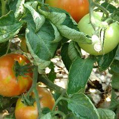 #tbt to @shoshoneriverfarm tomatoes. Man June can't come soon enough! . . . . . . . #food #farmtotable #foodporn #instafood #yumm #delicious #codywyoming #codywy #codywyo #wyoming #idaho #montana #wyominggrown #growninwyoming #thatswy #wyomade #yellowstone #tetons #seedtoplate #farmtofork #eat #eathealthy #eathealthyfood #healthyfood #healthyeats #farm