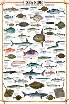 SEA FISH Wall Chart Poster - 59 Species of Saltwater Fish - Fishing ...