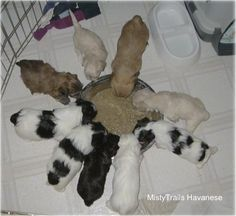 A litter of Havanese puppies are eating out of a food bowl on a white tiled floor inside of a pen.