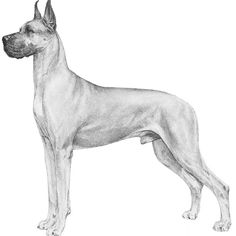 Great Dane Breed Standard Illustration. GENERAL APPEARANCE  The Great Dane combines, in its regal appearance, dignity, strength and elegance with great size and a powerful, well-formed, smoothly muscled body. It is one of the giant working breeds, but is unique in that its general conformation must be so well balanced that it never appears clumsy, and shall move with a long reach and powerful drive. It is always a unit -- the Apollo of dogs. A Great Dane must be spirited, courageous, never…