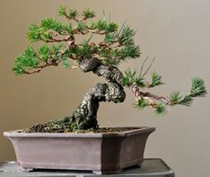 Exposed root black pine | Bonsai Tonight