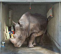 Fotoplane für Garagentor Nashorn / Garage Mural Rhinoceros