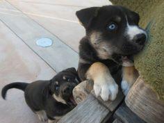 Rottweiler-Siberian Husky-Lab mix puppies