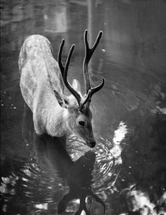 ☾ Midnight Dreams ☽ dreamy & dramatic black and white photography - deer at night Beautiful Creatures, Animals Beautiful, Cute Animals, Wild Animals, Wildlife Photography, Animal Photography, Oh Deer, Mundo Animal, Art And Illustration
