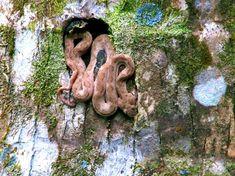 Schlafende Schlange am Fuße eines Baumstammes.