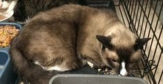 Mason is an adoptable Snowshoe Cat in Woodbridge, NJ. Mason is one of 4 cats recently surrendered to WAS. He is a beautiful 9 year old snowshoe who is absolutely terrified is his cage and depressed ab...