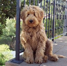 Australian labradoodle. Isn't this exactly the smooshy face you'd love to wake up to every morning?!